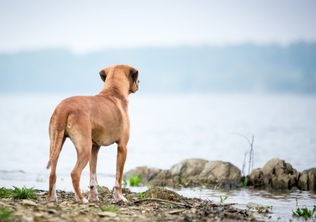 A red and white mixed breed dog standing at the edge of a lake