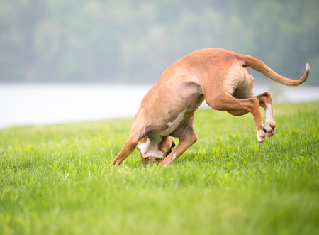 A red and white mixed breed dog jumping in an awkward position