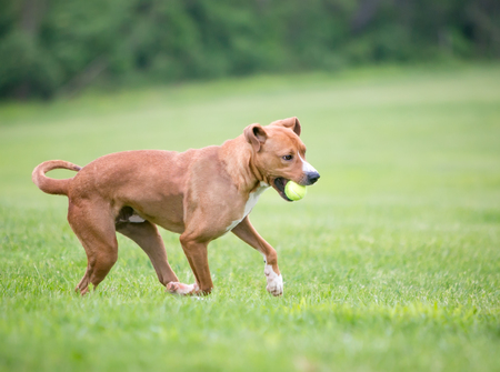 A red and white mixed breed dog running outdoors with a ball in its mouth Banco de Imagens