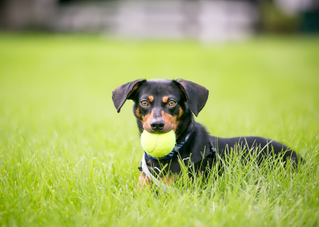 A black and red Dachshund mixed breed dog lying in the grass and holding a ball in its mouth