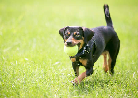 A playful black and red Dachshund mixed breed dog holding a ball in its mouth