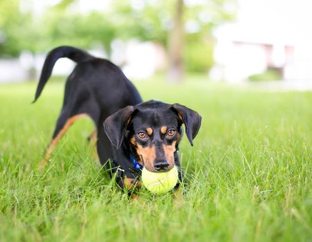 A playful black and red Dachshund mixed breed dog in a play bow position with a ball in its mouth Banco de Imagens