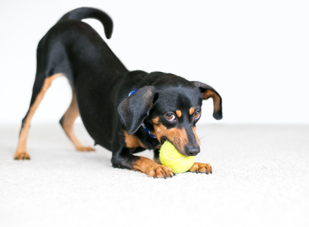 A black and red Dachshund mixed breed dog chewing on a tennis ball in a play bow position