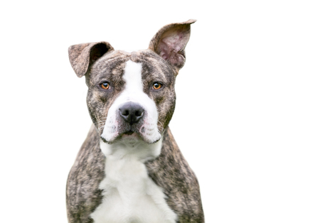 A brindle and white Pit Bull Terrier mixed breed dog with floppy ears looking at the camera