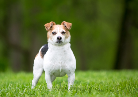A cute Jack Russell Terrier mixed breed dog standing outdoors