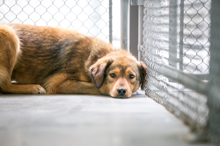 A homeless mixed breed dog in an animal shelter, lying down in its cage with a sad expression
