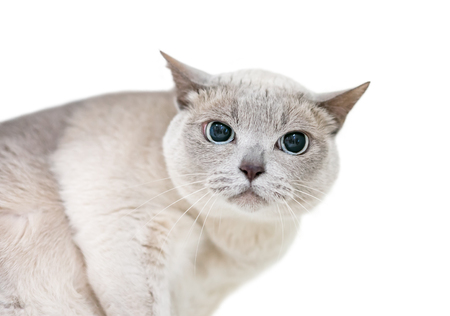 A Tonkinese cat with a grumpy expression and large dilated pupils Banco de Imagens
