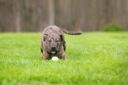 A playful brindle mixed breed dog with a ball