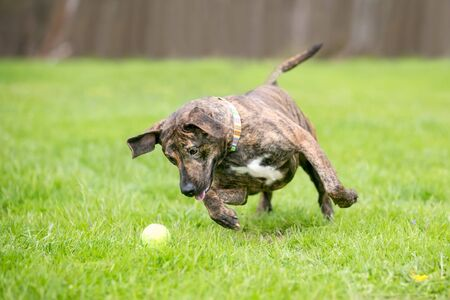 A playful brindle mixed breed dog pouncing on a ball
