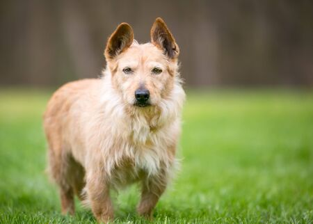 A scruffy brown Terrier mixed breed dog with upright ears standing outdoors