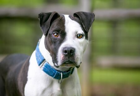 A black and white Pit Bull Terrier mixed breed dog wearing a blue collar and looking at the camera Banco de Imagens
