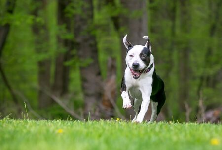 A happy black and white mixed breed dog running and playing outdoors Banco de Imagens