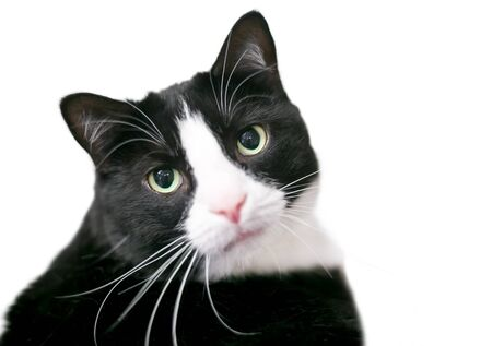 A black and white domestic shorthair Tuxedo cat looking at the camera Banco de Imagens