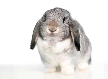 A cute gray and white lop eared domestic pet rabbit on a white background