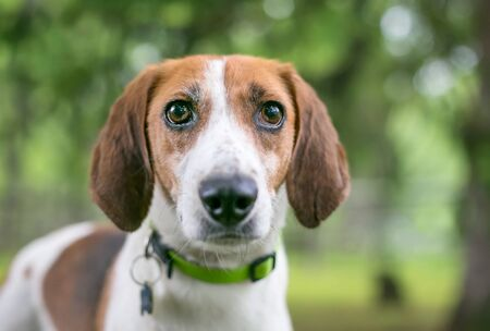 A Foxhound mixed breed dog wearing a collar and tags outdoors Banco de Imagens