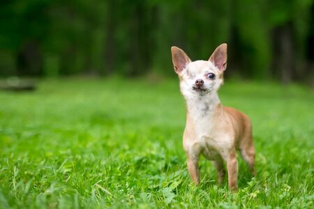 A one-eyed Chihuahua dog standing outdoors