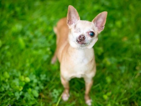 A one-eyed Chihuahua dog looking up at the camera
