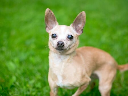 A cute tan Chihuahua dog standing outdoors
