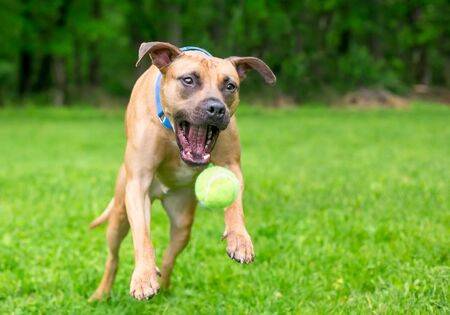 A playful Pit Bull Terrier mixed breed dog jumping to catch a ball