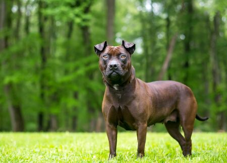 An American Staffordshire Terrier mixed breed dog standing outdoors Banco de Imagens