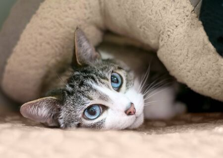 A shy domestic shorthair cat with tabby and white markings and blue eyes, hiding under a blanket Banco de Imagens
