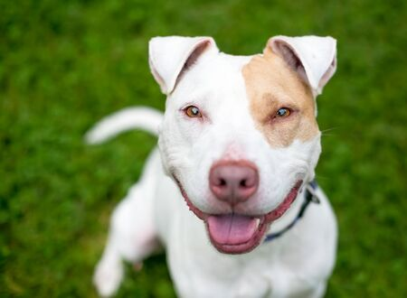A happy red and white Pit Bull Terrier mixed breed dog with floppy ears
