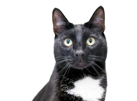 A black and white Tuxedo domestic shorthair cat with yellow eyes