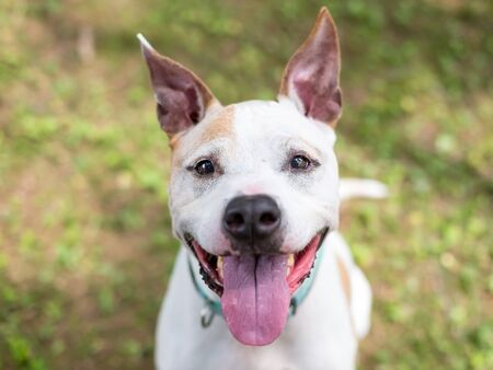 A white and tan Pit Bull Terrier mixed breed dog with large ears and a happy expression