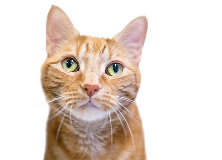 Close up of an orange tabby domestic shorthair cat with green eyes