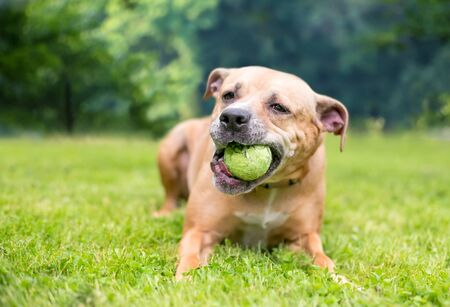 A happy Pit Bull Terrier mixed breed dog lying in the grass and chewing on a ball Banco de Imagens