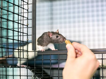 A person feeding a treat to a domestic pet rat in its cage