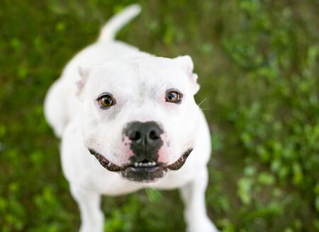 A cute white Pit Bull Terrier mixed breed dog looking up with a happy expression Фото со стока