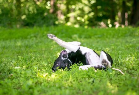 A playful black and white mixed breed puppy rolling upside down in the grass Banco de Imagens - 129704186