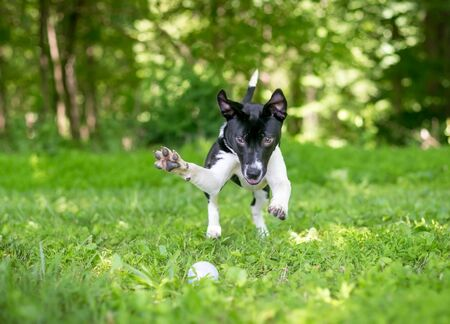 A playful black and white mixed breed puppy chasing and pouncing on a ball in the grass