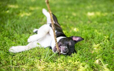 A playful black and white mixed breed puppy rolling in the grass while chewing on a stick