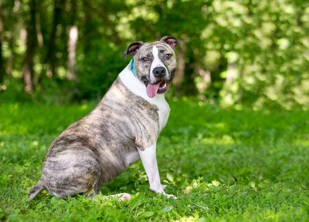 An overweight brindle and white Pit Bull Terrier mixed breed dog sitting outdoors