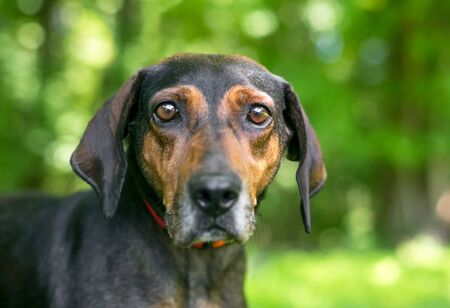 A red and black Hound mixed breed dog with a sad or worried expression on its face