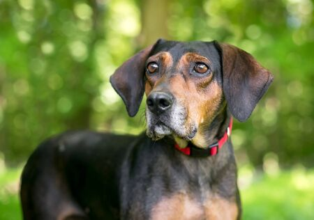 A red and black Hound mixed breed dog wearing a red collar outdoors 写真素材
