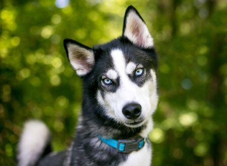 A purebred Siberian Husky dog with blue eyes outdoors