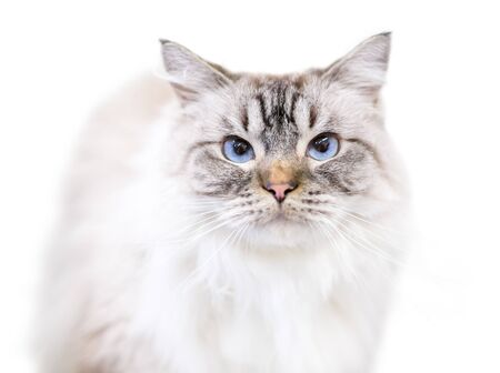 A beautiful fluffy Birman cat with tabby point markings and blue eyes