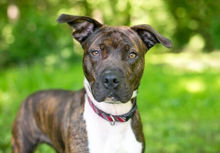 A brindle and white Pit Bull Terrier mixed breed dog with floppy ears looking directly at the camera