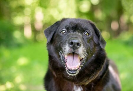 A black senior mixed breed dog outdoors with a happy expression Фото со стока