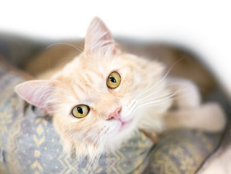 A buff tabby domestic medium haired cat relaxing in a cat bed 免版税图像