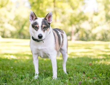 A tricolor Australian Cattle Dog mixed breed dog standing outdoors 写真素材