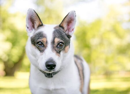 A tricolor Australian Cattle Dog mixed breed dog outdoors