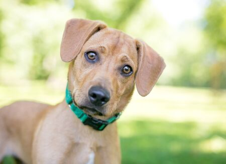 A cute Labrador Retriever  Golden Retriever mixed breed puppy listening with a head tilt