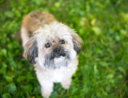 A cute Shih Tzu dog standing outdoors in the grass, looking up at the camera