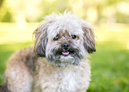 A cute Shih Tzu dog outdoors with a happy expression
