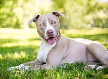 A tan and white Pit Bull Terrier mixed breed dog lying in the grass with a happy expression 写真素材