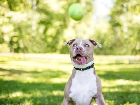 A tan and white Pit Bull Terrier mixed breed dog with a funny expression, about to catch a ball Banco de Imagens - 129704296